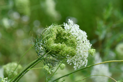 Queen Anne's Lace (Daucus carrot)