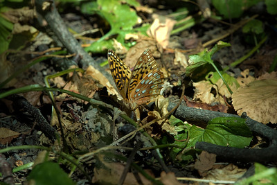 Great Spangled Fritillary laying her eggs