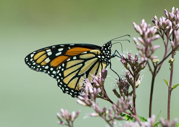2016:  Monarch on Joe-Pye-Weed