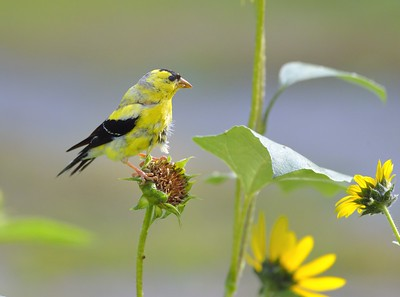 molting American Goldfinch male