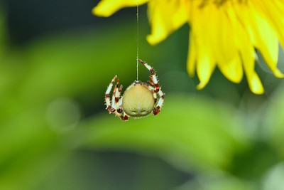 Araneus spp.  showing silk coming out of spinneret.