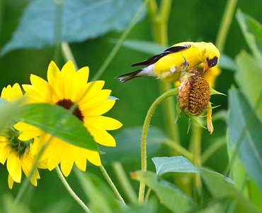 """Over 90% of our passerine birds must feed their developing young, a diet of over 90% insects….or the young die. It is that simple; i.e. no middle ground, no compromise. The nestlings MUST have a diet of almost 100% insects. The American Goldfinch is an exception to this rule. AG's are granivores, almost exclusively. The young are fed mostly grains and some insects, regurgitated from the adults. The 20-30 I have living at my Maine home go absolutely nuts for fresh, """"on the stem"""", sunflower seeds. Every day they tear my sunflower heads open and ravenously rip at the head to pluck the seeds."""