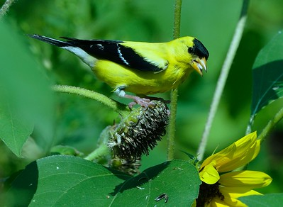 "Over 90% of our passerine birds must feed their developing young, a diet of over 90% insects….or the young die. It is that simple; i.e. no middle ground, no compromise. The nestlings MUST have a diet of almost 100% insects. The American Goldfinch is an exception to this rule. AG's are granivores, almost exclusively. The young are fed mostly grains and some insects, regurgitated from the adults. The 20-30 I have living at my Maine home go absolutely nuts for fresh, ""on the stem"", sunflower seeds. Every day they tear my sunflower heads open and ravenously rip at the head to pluck the seeds."