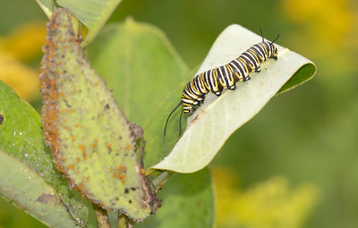 Monarch Caterpillar and Adult (August 2019)