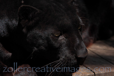 black panther, Spirit of the Hills Wildlife Sanctuary