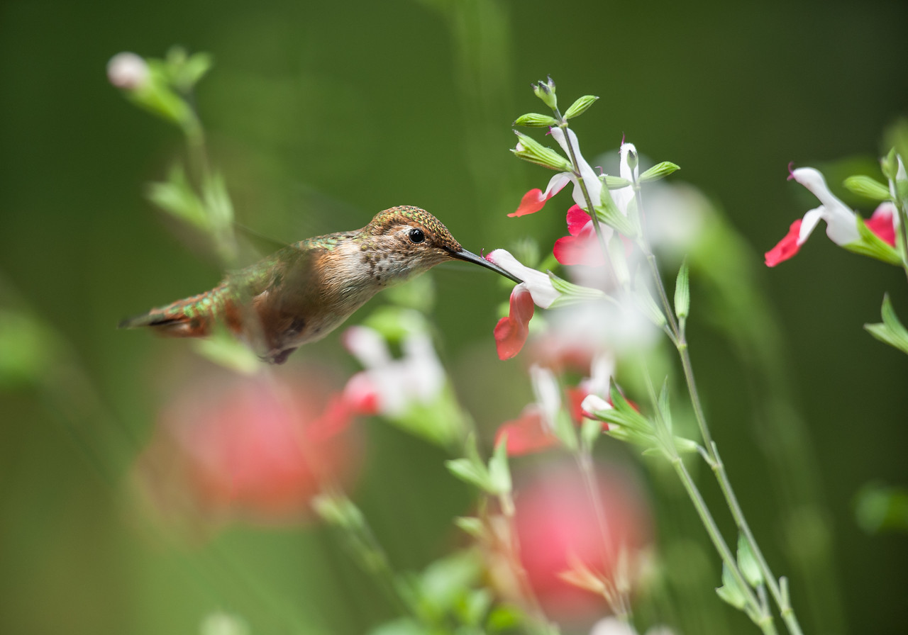 Hummingbird and Salvia Hot Lips