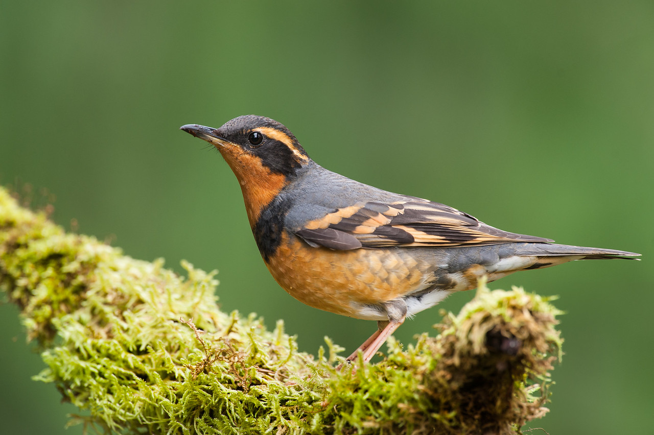 Varied Thrush, male with the darker colors, adult by the solid band across the chest.