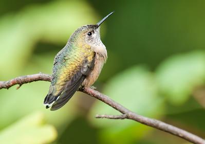 Juvenile male Calliope Hummingbird, Selasphorus calliope