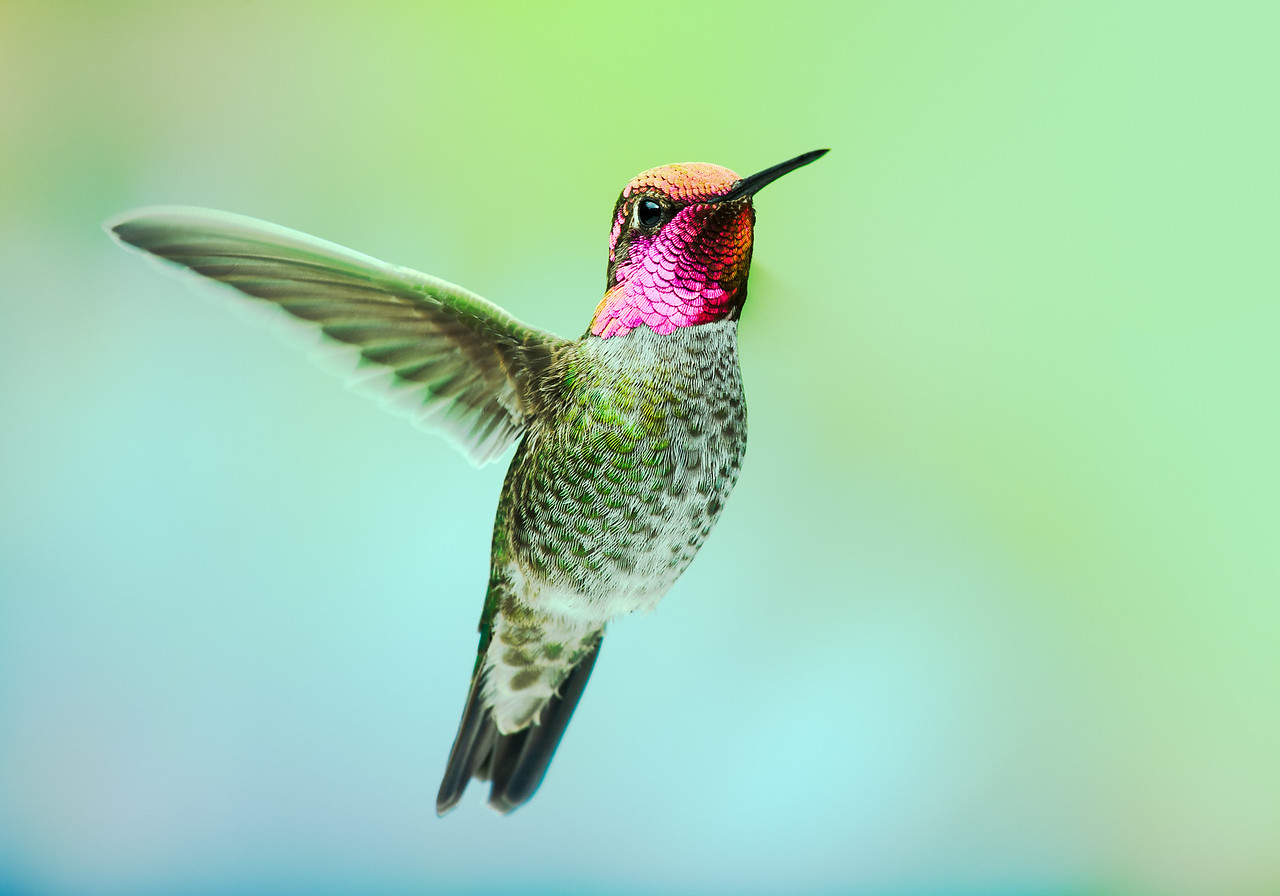 Anna's Hummingbird, male with the full color gorget.