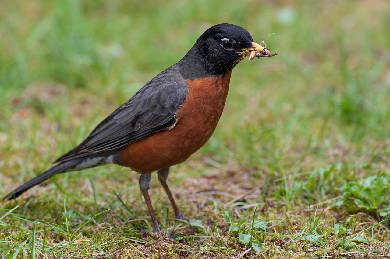Robin with a bill full of worms