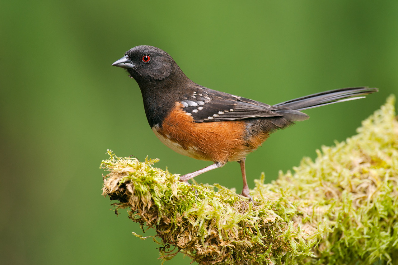 Spotted Towhee, males like this one have darker heads.