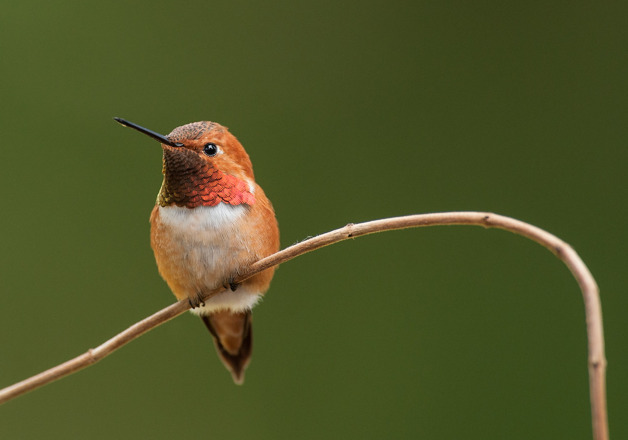Rufous male hummingbird perched with colorful gorget