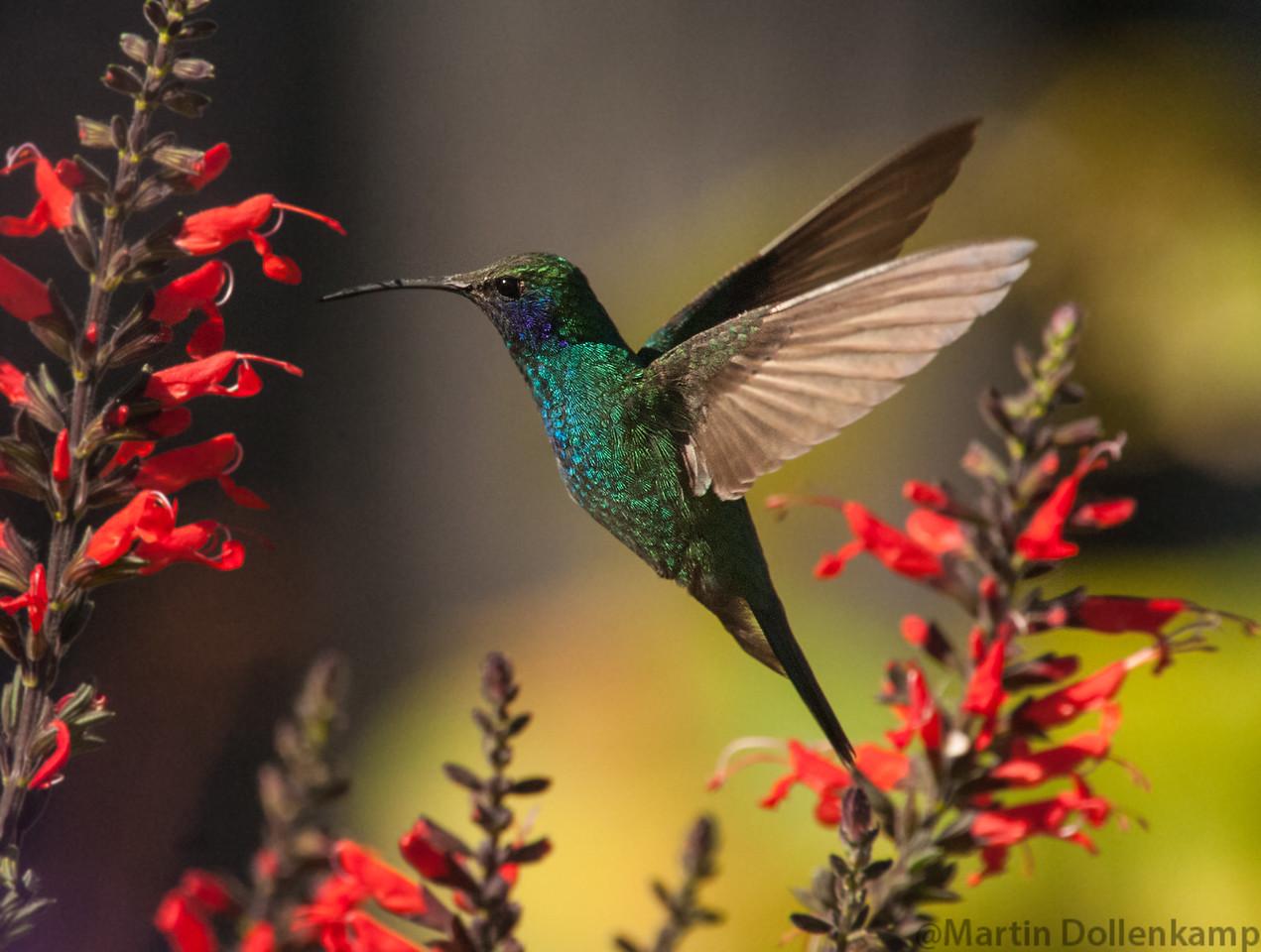 Violetear Hummingbird