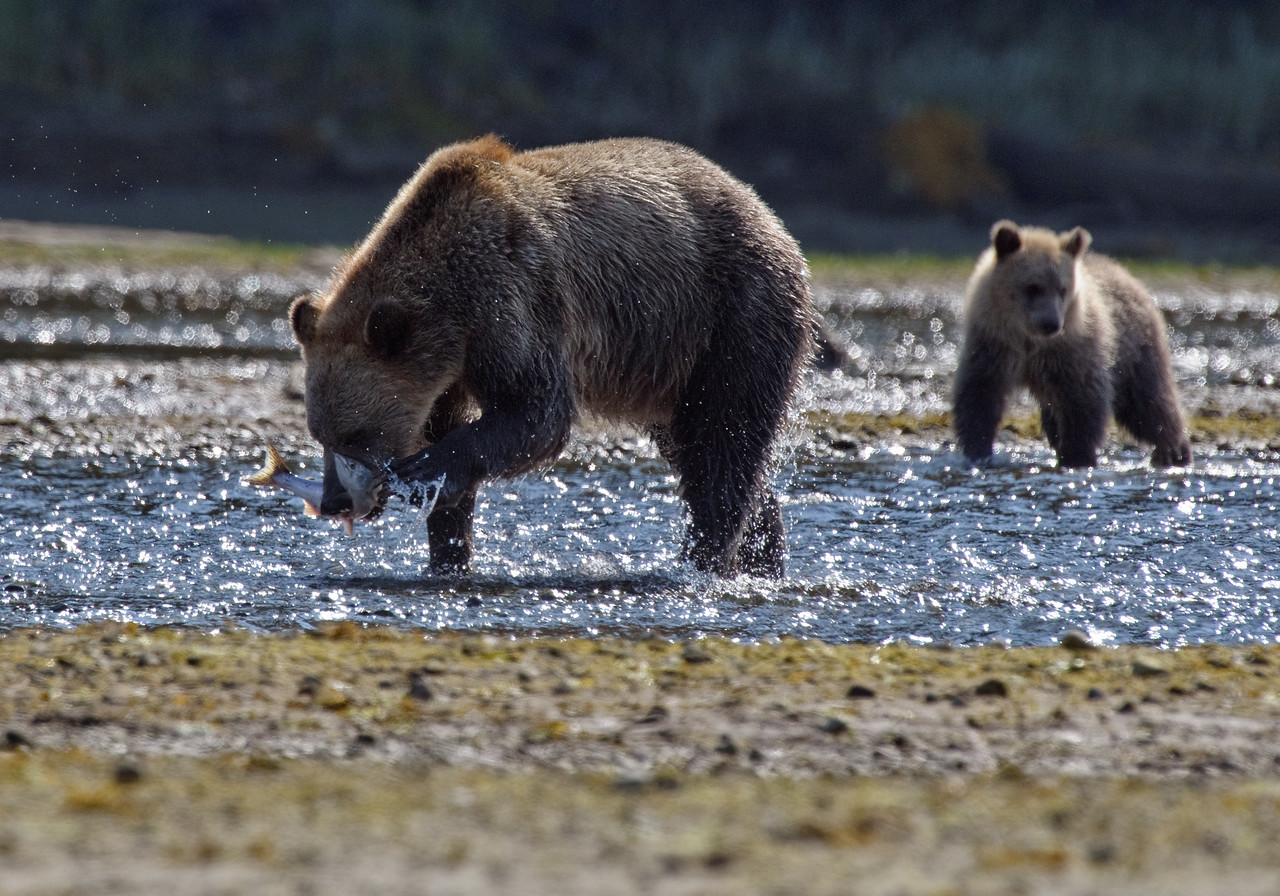 Grizzly and cub, catching Pink Salmon.