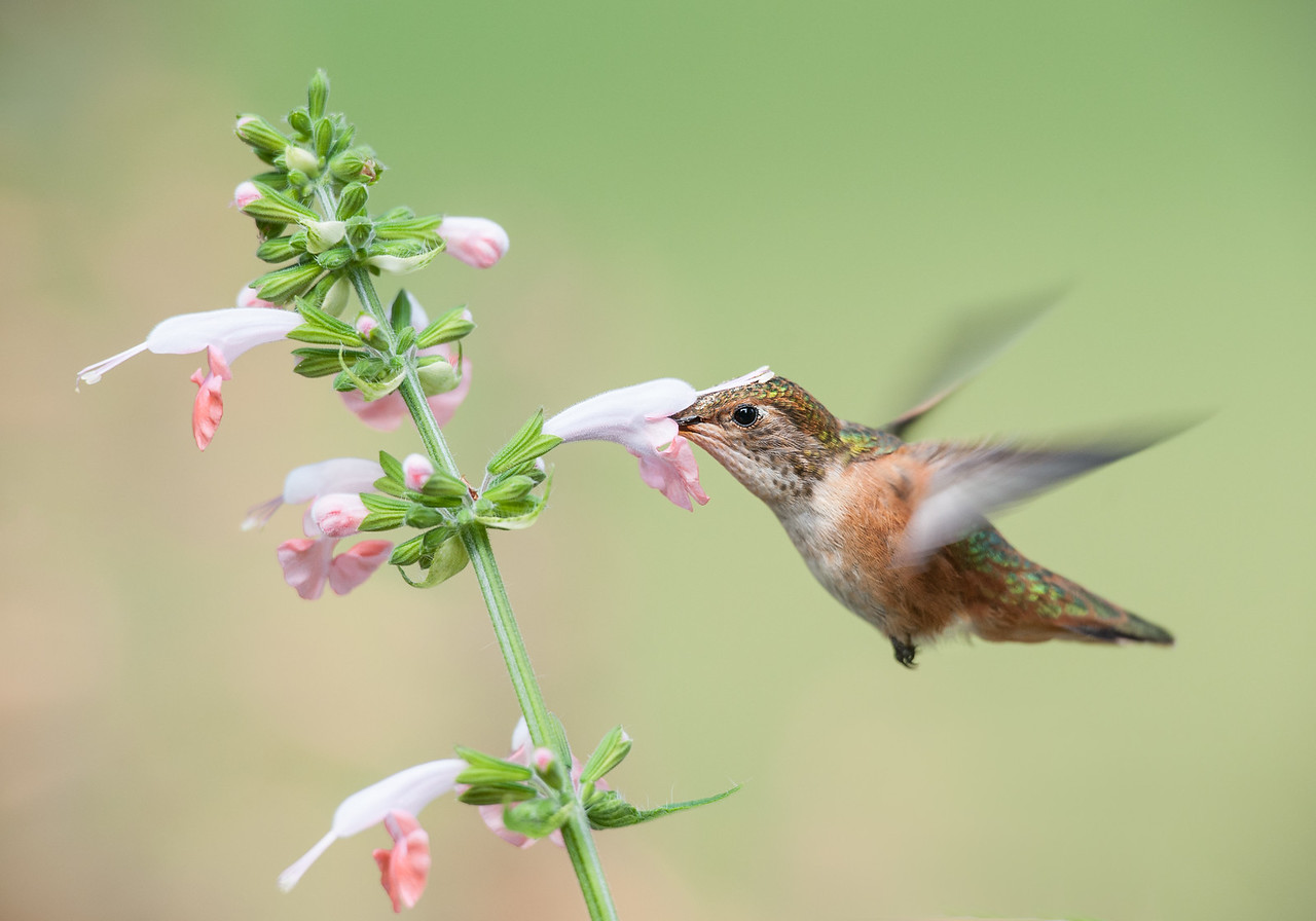 Rufous Hummingbird and Coral Nymph