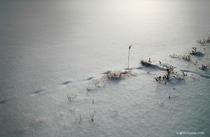 Fox Tracks in Snow