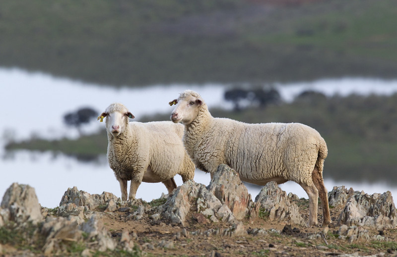 Famous merino sheep - the breed that has been exported to Australia and the world over by the British
