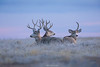Mule deer at dawn
