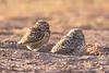 Burrowing Owls, Arizona, USA