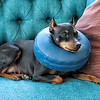 Dog with neck pillow