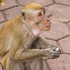 Monkey eating  in Malaysia