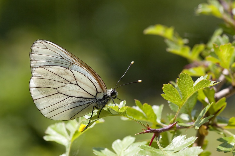 Black-Veined White (Aporia crataegi) - Groot Geaderd Witje -  its fresh, yellow eggs clearly visible - in all, she disposed 40 eggs