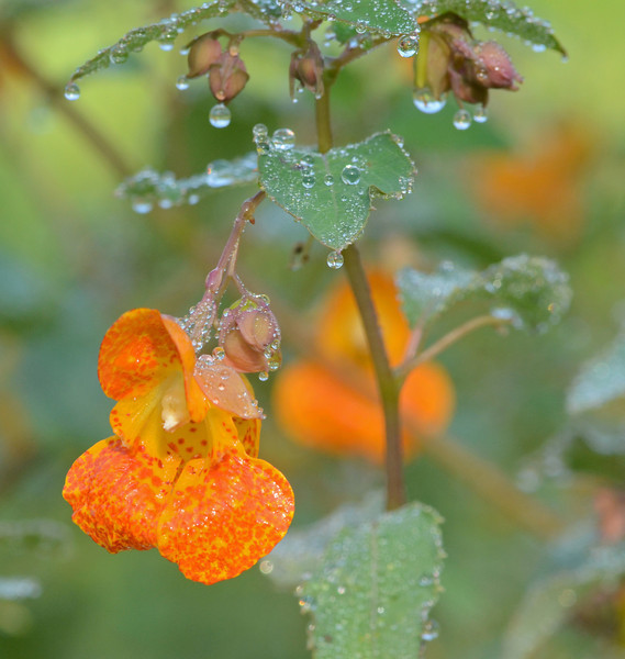 Snapdragon with morning dew