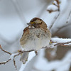 White-chinned Sparrow