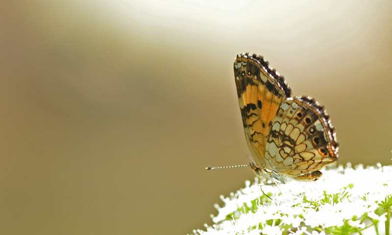 Pearl Cresent butterfly