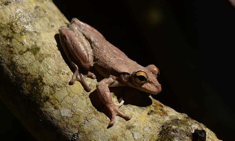 Cuban Tree-frog