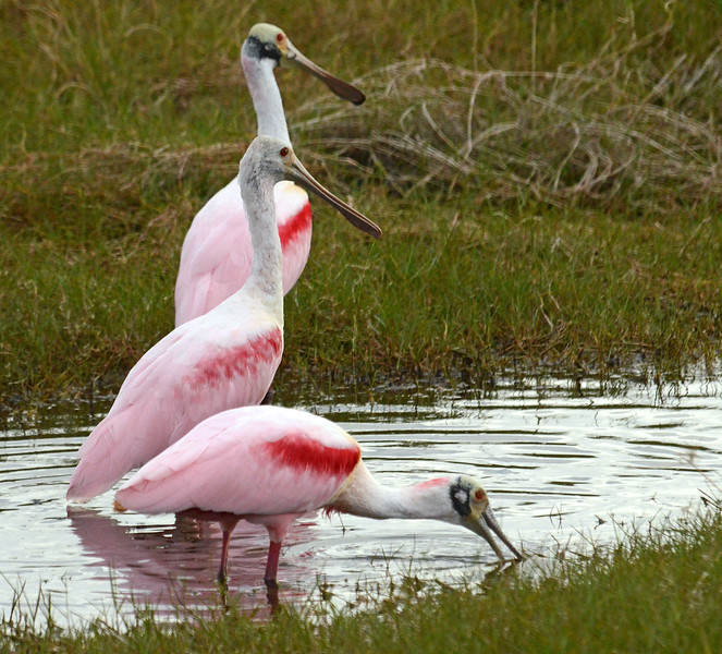 Rosenated Spoonbill