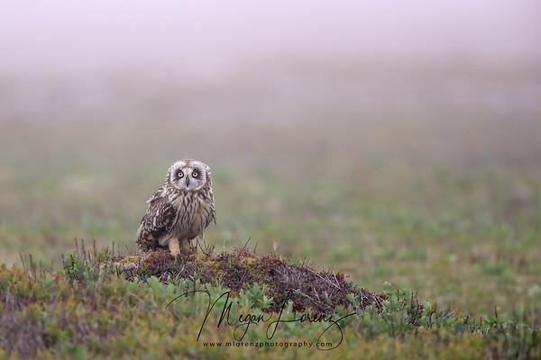 Short-Eared Owl in Newfoundland, Canada