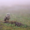 Short-Eared Owl in Newfoundland, Canada