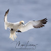 Northern Gannet landing at Cape St. Mary's in Newfoundland, Canada