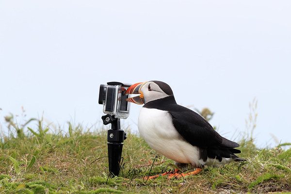 Atlantic Puffin intereacting with a GoPro Camera