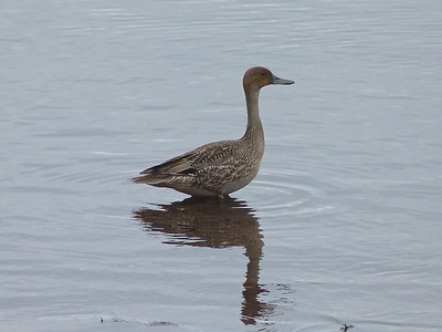 Northern Pintail at St. Bride's