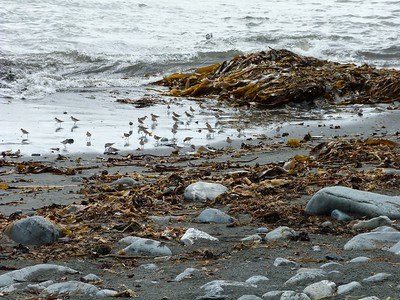 Semipalmated Sandpipers at Chance Cove Provincial Park