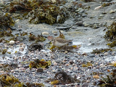 Semipalmated Sandpiper at Rocky Harbour