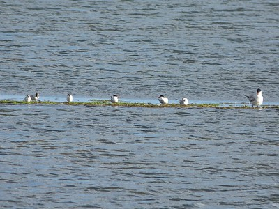 Common Terns, one Caspian Tern, at Port au Port causeway