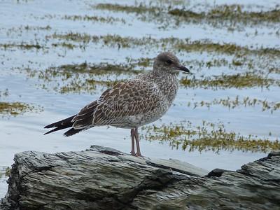 Ring-billed Gull juv. at Spaniard's Bay