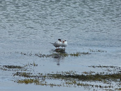 Common Terns adult and juvenile (begging) at Spaniard's Bay