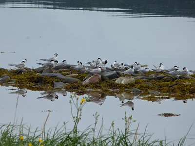 Common Terns at Codroy Valley Provincial Park