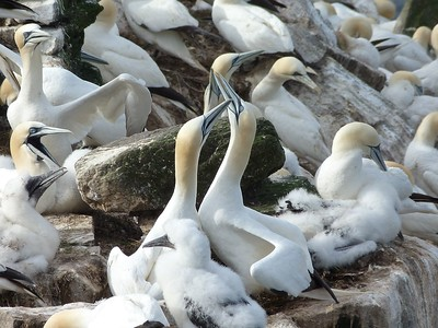 Northern Gannets, doing greeting behaviour, at Cape St. Mary's