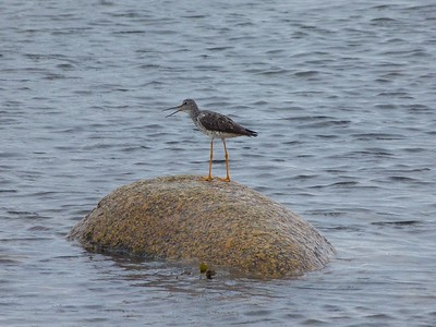 Greater Yellowlegs at Green Point Trail, Gros Morne N.P.
