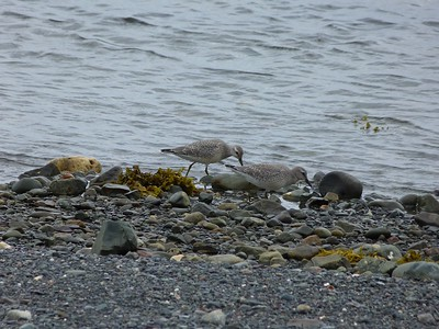 Red Knots at Renews