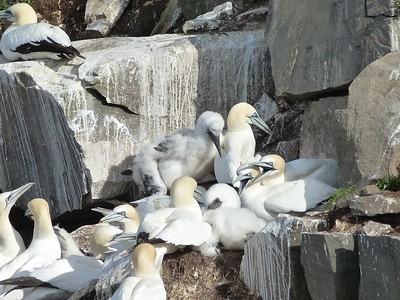 Northern Gannets at Cape St. Mary's