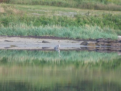 Great Blue Heron at JT Cheeseman Provincial Park