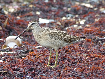 Short-billed Dowitcher juv. at Rocky Harbour