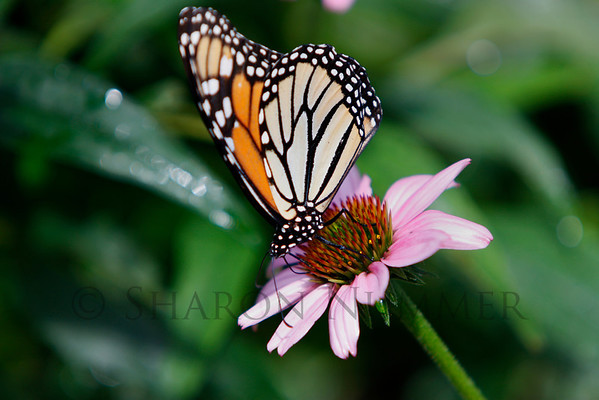 Monarch Butterfly feeding on a coneflower.