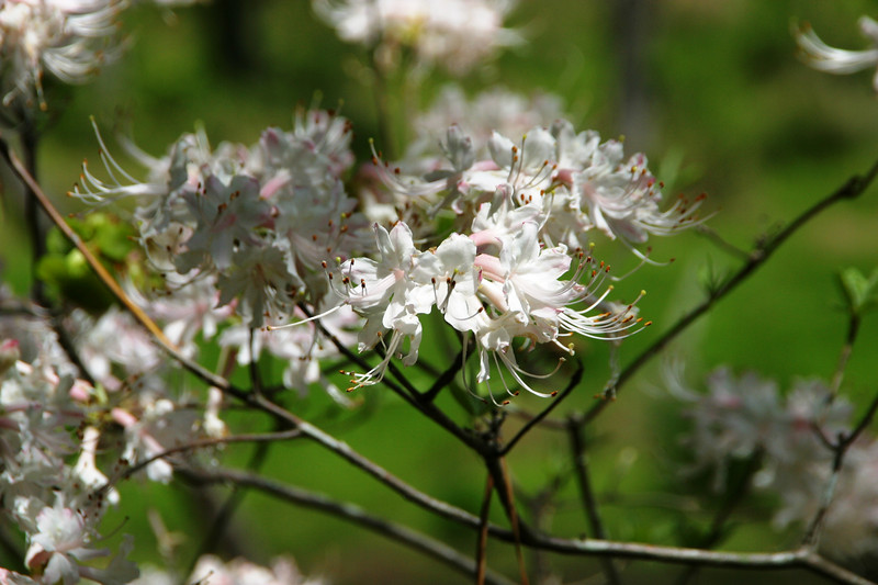 This is one of the flowering trees (a native Azalea, according to Carol Lambert, Newman Wetlands Center Senior Conservationist) that is adjacent to the benches up on the hammock overlook.